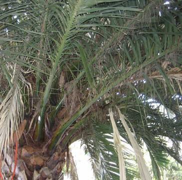 Punteruolo rosso verifiche sulle palme attualit cecina - Punteruolo rosso in casa ...