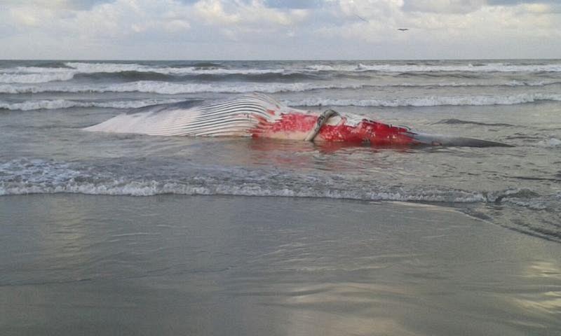 Spiaggiata balenottera di 15 metri attualit camaiore - Bagno lido tirrenia ...