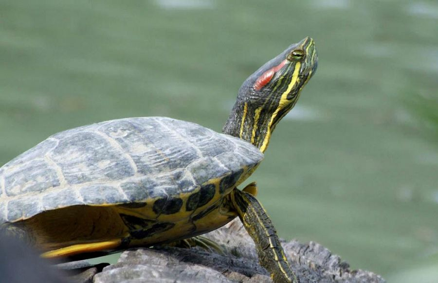 Tartaruga d 39 acqua dolce salvata dalla mareggiata rettili for Tartaruga acqua dolce razze