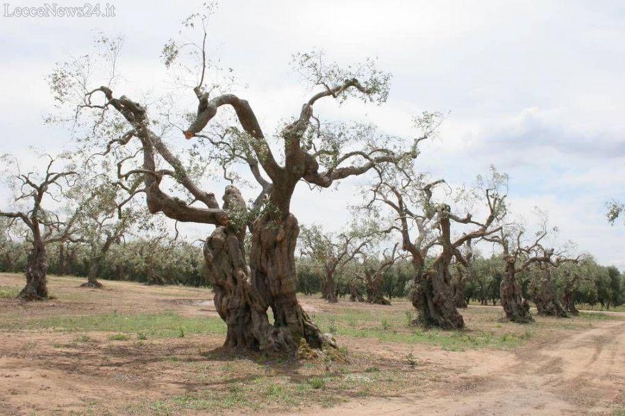 Matrimonio Tra Gli Ulivi Toscana : Peste degli ulivi guerra tra toscana e liguria