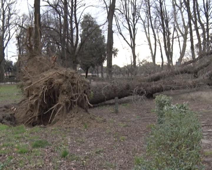 Il vento spazza viareggio danni e alberi caduti - Alberi adatti per viali ...