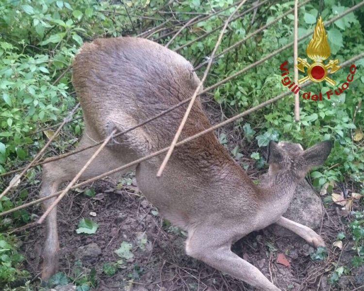 Capriolo curioso rimane intrappolato nella rete cronaca for Capriolo animale