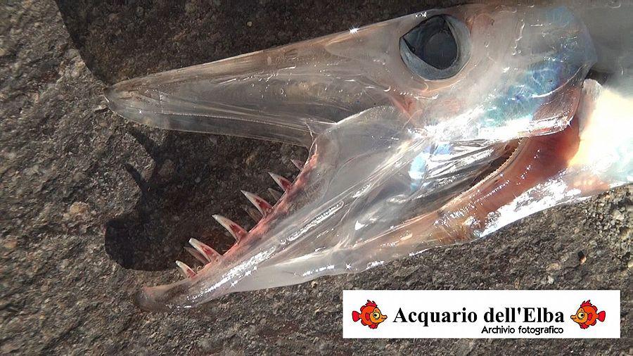Catturato un raro pesce abissale attualit campo nell 39 elba for Acquario a colonna
