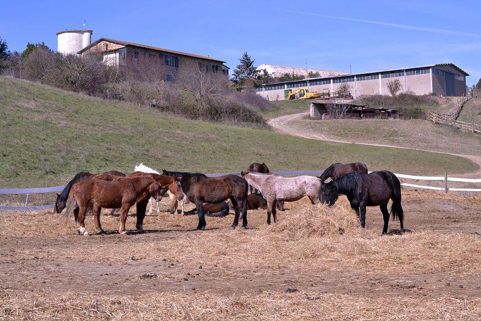 Cavalli morti, autopsia esclude avvelenamenti - Qui News Volterra