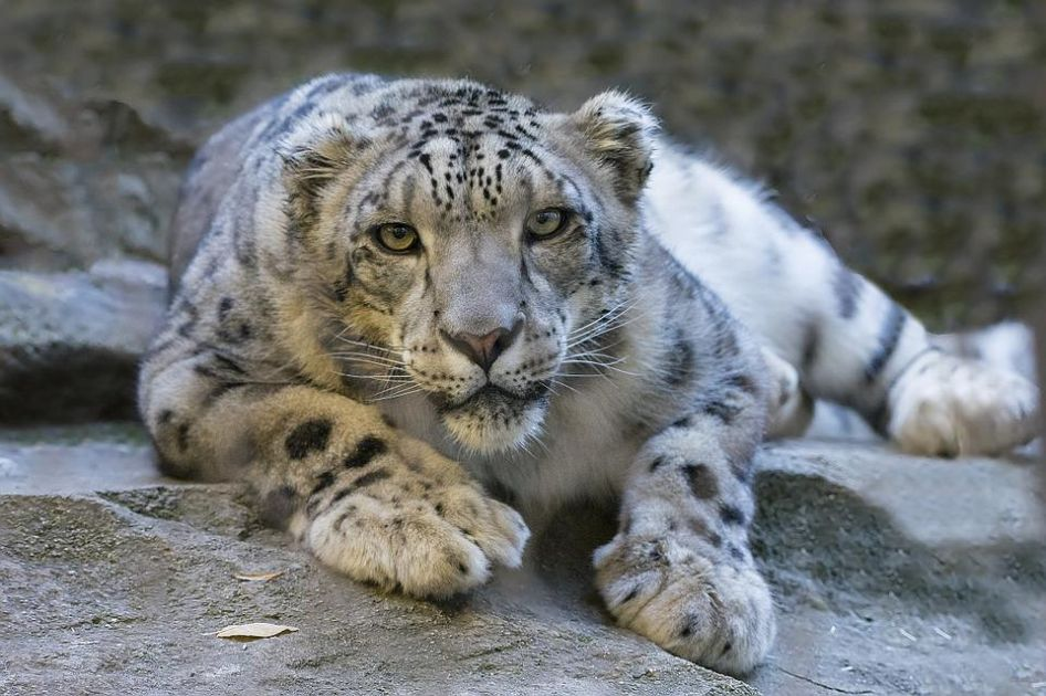 Neve leopardo incontri