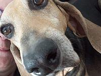 Il lungo naso del segugio campione di megaolfatto