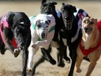I levrieri sono cani molto concentrati. Foto Pet Levrieri