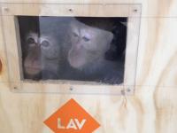 Le scimmiette in viaggio. Foto: Lav