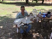 Versione mucca da grembo