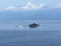 Balena avvistata al largo dell'isola di Capraia