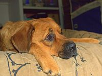 La noia cronica, un pericolo anche per il cane