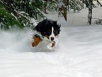 la neve per il bovaro del bernese