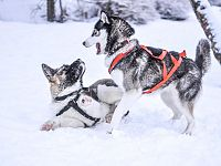Giochi nevosi per questa coppia di husky