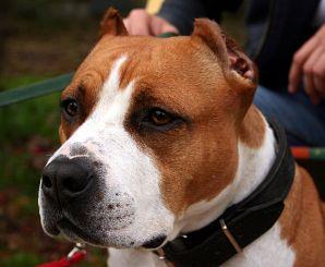 Un cane di razza Amstaff