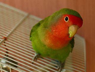 Nel caso di un secondo pappagallo, se della stessa specie, non.