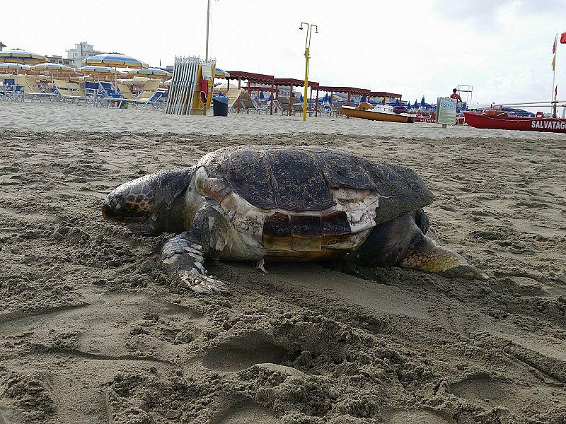Tartaruga morta spiaggiata al lido attualit lido di camaiore - Bagno stella lido di camaiore ...