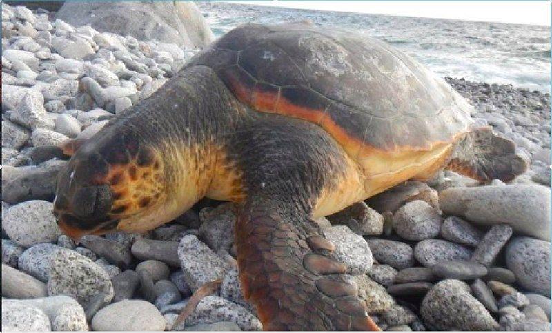 Tartaruga morta sulla spiaggia di chiessi attualit marciana for Chiessi e fedi arredo bagno