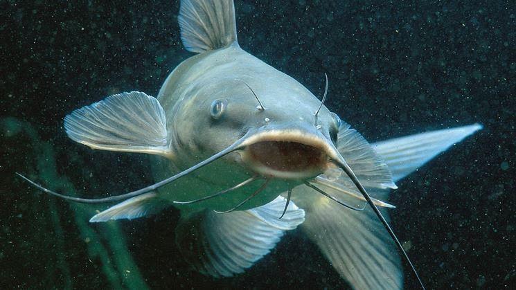 Chi Mangia I Pesci Darno Attualità Pontedera
